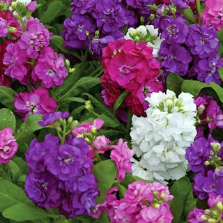Hot Cakes Mixture Stock Seeds Image
