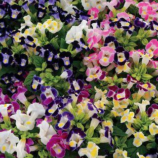 Kauai ™ Mix Torenia Seeds Image