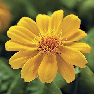 Jackpot Gold™ Melampodium Seeds Image