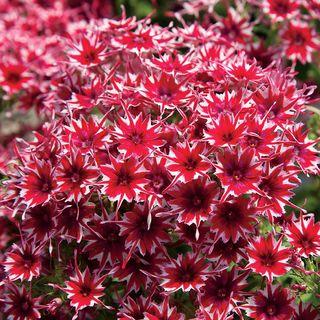 Popstars Red Phlox Seeds Image