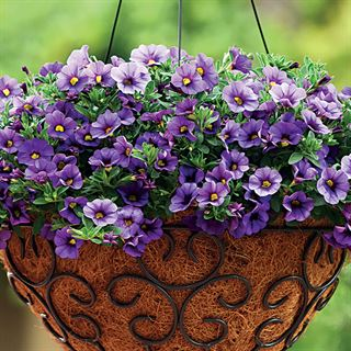 Kabloom® Denim Calibrachoa Seeds Image