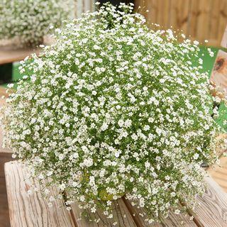 Gypsy White Improved Gypsophila Seeds Image