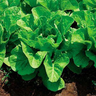 Super Jericho Lettuce Seeds Image