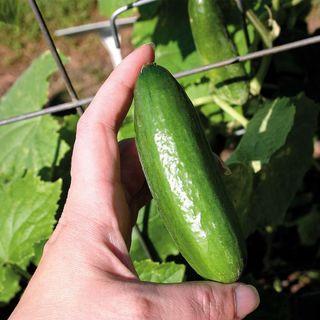 Baby Hybrid Cucumber Seeds Image