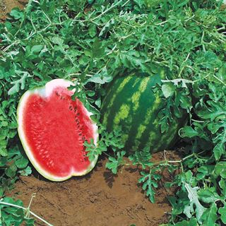 Top Gun Hybrid Seedless Watermelon Seeds Image