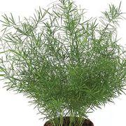 Sprengeri Asparagus Fern Seeds Thumb