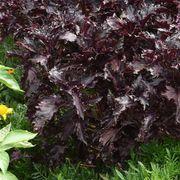 Purple Ruffles Basil Seeds Alternate Image 1