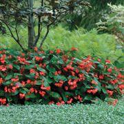 Dragon Wing® Red Begonia Seeds Thumb