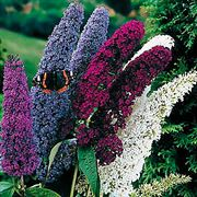 Butterfly Bush Seed Mix Thumb