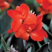 Tropical™ Bronze Scarlet Canna Seeds Thumb