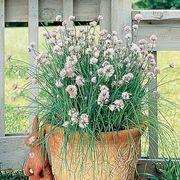 Garlic Chives Seeds Thumb