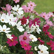 Sonata Mix Cosmos Flower Seeds Thumb