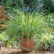 Lemongrass Seeds Alternate Image 1