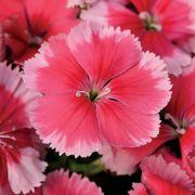 Super Parfait™ Strawberry Hybrid Dianthus Seeds Thumb