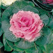 Color Up Pink Hybrid Ornamental Cabbage Seeds Thumb