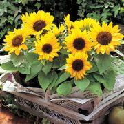 Sunny Smile Sunflower Seeds Thumb