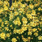 Dakota Gold Helenium Seeds Thumb