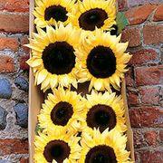 ProCut® Lemon Sunflower Seeds Thumb