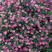 Gypsy Deep rose Hybrid Gypsophila Seeds Thumb