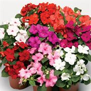 Accent™ Mix Hybrid Impatiens Seeds Thumb