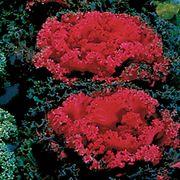 Nagoya Red Ornamental Kale Seeds Thumb