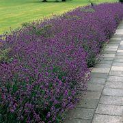 Munstead Lavender Seeds Thumb