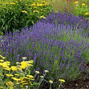 Hidcote Blue Lavender Seeds Thumb