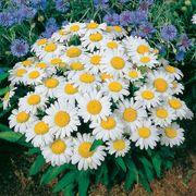 Snow Lady Shasta Daisy Seeds Thumb