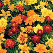 Safari Mix Marigold Seeds Thumb