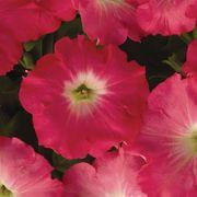 Easy Wave® Rosy Dawn Hybrid Petunia Seeds Thumb