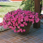 Easy Wave® Pink Petunia Seeds Thumb