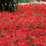 Easy Wave® Red Hybrid Petunia Seeds Alternate Image 1