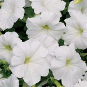 Easy Wave® White Petunia Seeds Thumb