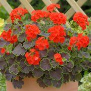Black Velvet Scarlet Hybrid Geranium Seeds Alternate Image 1