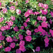 Wave® Pink Petunia Seeds Thumb