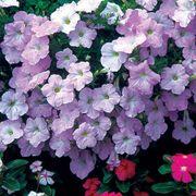 Wave® Misty Lilac Hybrid Petunia Seeds Thumb