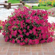 Wave® Rose Hybrid Petunia Seeds Thumb