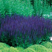 Blue Queen Salvia Seeds Thumb