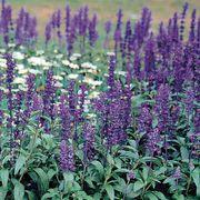 Evolution® Violet Salvia Seeds Thumb