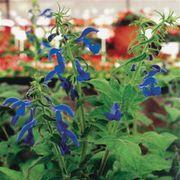 Blue Angel Salvia Seeds Thumb