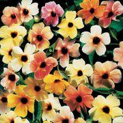 Sunrise Surprise Black-Eyed Susan Vine Thunbergia Seeds Thumb