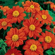 Fiesta del Sol Mexican Sunflower Seeds Thumb
