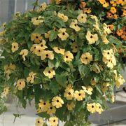 Susie™ Yellow Black-Eyed Susan Vine Thunbergia Seeds Alternate Image 1