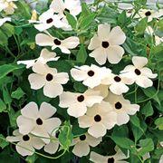 Susie™ White Black-Eyed Susan Vine Thunbergia Seeds Thumb