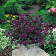 Imagination® Deep Violet Blue Verbena Seeds Alternate Image 1