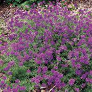 Imagination® Deep Violet Blue Verbena Seeds Thumb