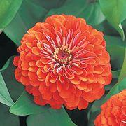 Dreamland™ Coral Hybrid Zinnia Seeds Thumb