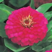 Dreamland™ Rose Hybrid Zinnia Seeds Thumb