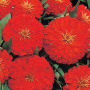 Dreamland™ Scarlet Hybrid Zinnia Seeds Thumb