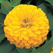 Dreamland™ Yellow Hybrid Zinnia Seeds Thumb